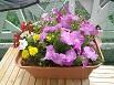 ベランダのお花たちです